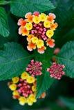 Detail van de bloei van bloem Stock Fotografie