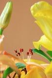 Detail van de Lelie Stock Afbeelding