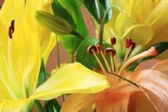 Detail van de oranje Lelie Stock Foto's