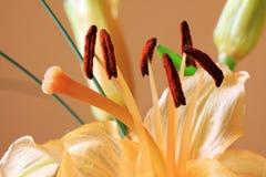Detail van de oranje Lelie Stock Fotografie