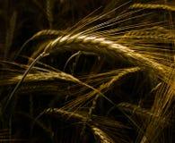 Detail van de oren van de tarwe. Stock Foto's
