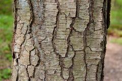 Detail van de schors van een zoete berkboom met kenmerk lenticels stock foto
