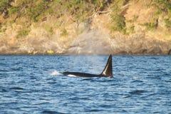 Detail van de staart van de orka boven de waterspiegel, Juneau, Alaska stock foto