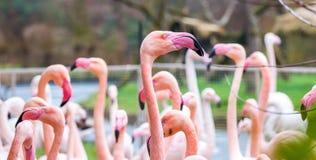 Detail van de vogel hoofd, roze kleur van flamingophoenicopterus, portret van hoofd royalty-vrije stock foto