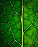 Detail van donkergroene bladeren met aders Royalty-vrije Stock Afbeeldingen