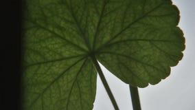 Detail van een blad van geranium door de de lentewind die wordt bewogen stock video