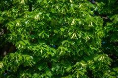 Detail van een bloeiende lindeboom Stock Afbeelding