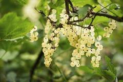 Detail van een bos van witte aalbes op een tak stock foto's