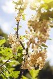 Detail van een bos van witte aalbes op een tak in zonlicht royalty-vrije stock foto's