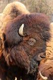 Detail van een buffel Stock Fotografie