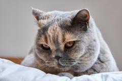 Detail van een hoofd Britse Shorthair-kat Stock Afbeeldingen