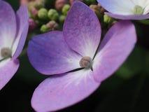 Detail van een hydragena Stock Foto