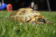 Detail van een kleine schildpad die in het gras kruipen Stock Foto's