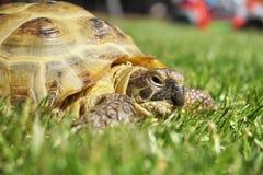 Detail van een kleine schildpad die in het gras kruipen Royalty-vrije Stock Afbeelding