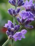 Detail van een lavendel Royalty-vrije Stock Foto