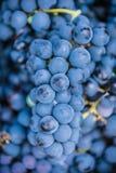 Detail van een mand met druiven Oogst van blauwe druif Voedsel, Bourgondië De herfst in de Tuin royalty-vrije stock foto's