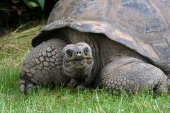 Detail van een reuzeschildpad Stock Afbeelding
