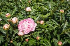 Detail van een roze pioenbloem Stock Afbeelding