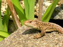 Detail van een salamander Stock Foto's