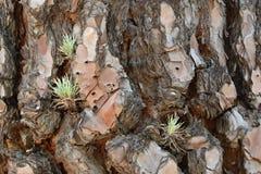 Detail van een Schors van Pijnboomboom, Tenerife, Canarische Eilanden, Spanje, Europa Royalty-vrije Stock Foto's