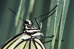 Detail van een vlinder   Stock Afbeelding