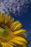 Detail van een zonnebloem Stock Foto