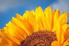 Detail van een zonnebloem Royalty-vrije Stock Afbeeldingen