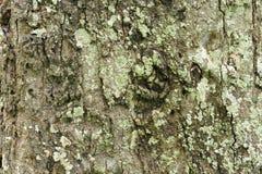 Detail van eiken boomschors Stock Afbeelding