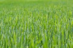 Detail van gebied met groene de lentekorrels Stock Foto's