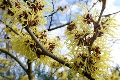 Detail van gele bloemen van Hamamelis Mollis Stock Afbeeldingen