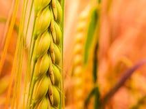Detail van gouden tarwe stock afbeeldingen