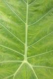 Detail van groen blad: Achtergrond Royalty-vrije Stock Afbeelding