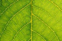 Detail van groene bladtextuur Royalty-vrije Stock Foto's