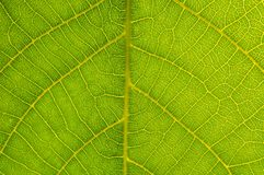 Detail van groene bladtextuur Stock Afbeeldingen