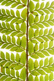 Detail van groene varen stock foto