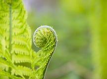 Detail van groene varen Royalty-vrije Stock Foto's
