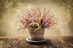Detail van heidebloem in pot, uitstekende stijl Stock Foto's