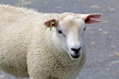 Detail van het gescheurde oor van het lam Royalty-vrije Stock Afbeeldingen