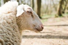 Detail van het gezicht van schapen van kant stock foto