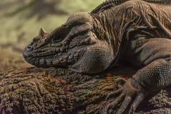 Detail van het hoofd van een rinoceroshagedis stock foto