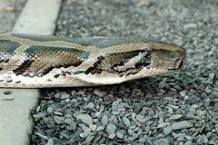 Detail van het hoofd van python Royalty-vrije Stock Foto's