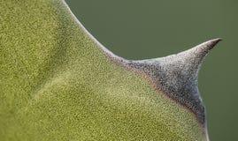 Detail van het succulente uiteinde van de installatieagave van blad royalty-vrije stock afbeelding