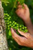 Detail van jonge druiven Royalty-vrije Stock Fotografie