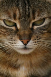 Detail van kattengezicht. Stock Afbeelding