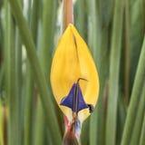 Detail van kleurrijke strelitzia Stock Foto