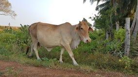 Detail van koe op de straat in Sri Lanka stock afbeelding