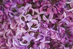 Detail van lilac bloem Stock Afbeelding