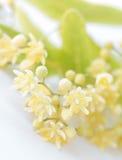 Detail van linde-boom bloem Stock Afbeelding