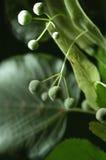 Detail van lindeboom stock afbeelding
