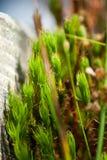 Detail van mos Royalty-vrije Stock Afbeeldingen